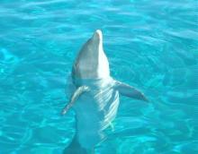 SLP dolphin