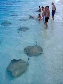 マルハバ! - from Maldives-TCR sting ray