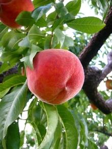 H.I.S. バンクーバー支店-peach