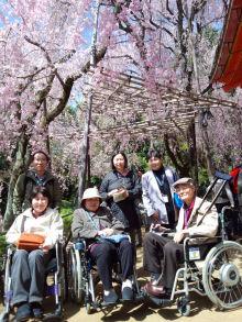 京都 桜 車イス