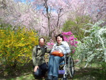 京都 桜 車椅子
